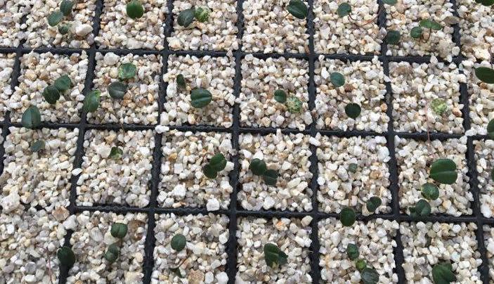 上の写真は原種シクラメンのタネ(種)をまいて発芽してきたところです。一般の方が原種シクラメンをタネ(種)から育てるのは少し難しいようですが、 原種シクラメンの管理方法は園芸種のシクラメンよりも管理は意外に簡単だそうです。  原種シクラメンを生産している横山園芸の横山さんに、管理方法をお伺いしました。