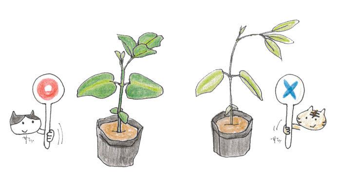 茎が太い・葉の色が濃く厚い・節間がつまっている苗を選びましょう。 連作・病気に強い接ぎ木苗がおすすめです。購入したらしっかり水分を与え植え付けに備えましょう。