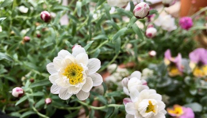 *キク科 ローダンテ属  *学名 Rhodanthe anthemoides  *原産地 オーストラリア  *多年草(高温多湿な日本の気候が苦手で特に夏越しが難しいので一年草扱いされる場合も多いようです)  「花かんざし」の名前でお馴染みですがこれは流通名で、学名はローダンテ・アンテモイデスです。よく混同されているのが和名を「ハナカンザシ」というクロロセファラ種やマングレシー種の植物がありますが、それとはまた別種になります。  どちらも温室栽培の一年草で草丈40~60cm、花径は3cm位と「花かんざし」より少し大きめで、花色も赤、ピンク、白などあり切り花でよく利用されるようです。一方の今回ご紹介する「花かんざし」はアンテモイデス種の多年草で花色は白、草丈15~25cm、花径は2cm位です。  同じキク科のヘリプテルム属のペーパーカスケード(Rhodanthe anthemoides 'Paper Cascade')とよく似ていますが、茎が少し長く伸び、花弁が少しとがっているのが見分け方の特徴です。