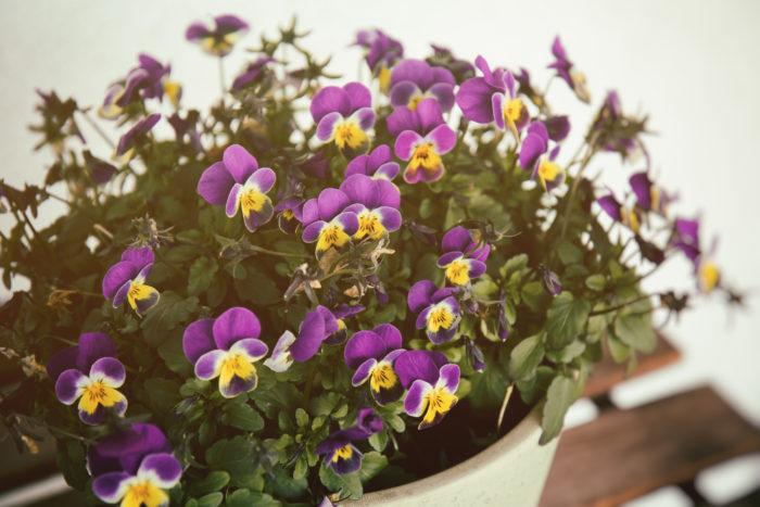 ビオラは花輪の大きさで小輪は2~3cm、中輪は3~4cmです。色は単色がスタンダード、他にも2色からなるバイカラ―や、まだらなど様々な色模様があります。