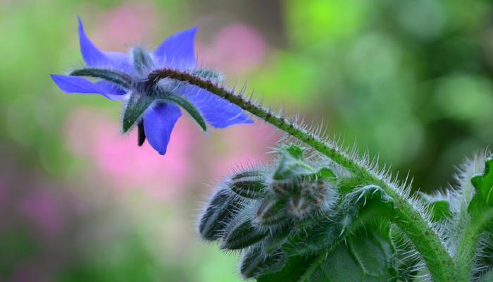 ボリジ 青い花