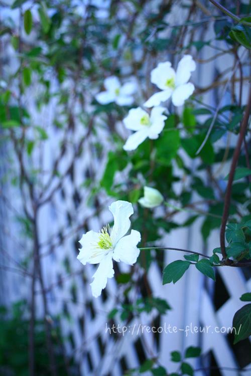 鉢植えでも栽培可能ですが、長く伸びるので地植えにすると見事です。