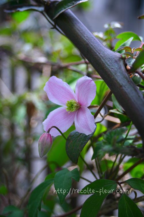 クレマチス・モンタナ系は品種が豊富で、新品種も毎年発売されています。  モンタナ系のクレマチスの花色はピンクや白が多いです。花のサイズが小さめでかわいらしい花姿、多花性ですが、一面に咲き広がっても圧迫感のない清楚な花です。つぼみの時もかわいらしく、うつむくような姿をしています。
