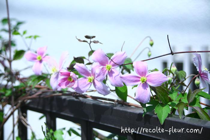 クレマチスのモンタナ系は、花が控えめで小さめなサイズなので、たくさん咲いていてもうるさい感じでなく、他の花とも調和するのもいいところです。