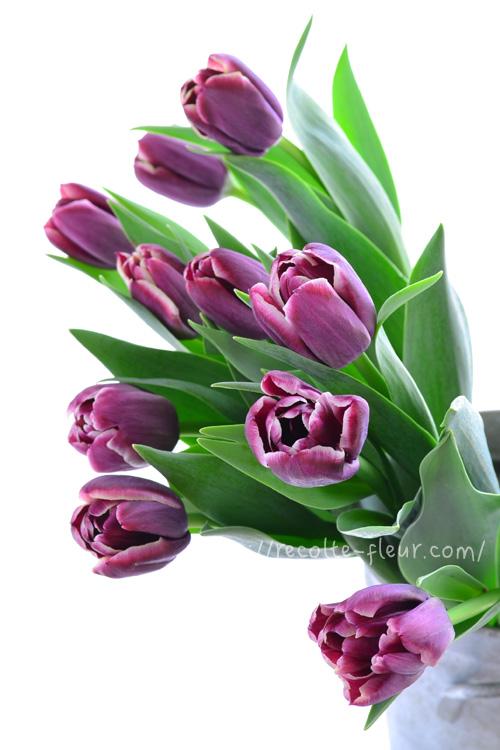 チューリップ・ジャックポット。深い紫色に白い縁取りで素敵な色合い。