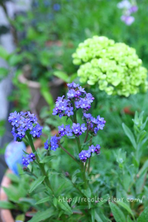 アンチューサは品種がいくつもあり、一年草のものから多年草のものまであります。品種によって丈も低めのものから高いものまで色々あります。  一年草のアンチューサは、別名アフリカワスレナグサという和名で呼ばれています。  アンチューサの開花は5月から梅雨入り前くらいまで。日当たりのよい場所を好み、寒さには強いのですが、暑さや蒸れに弱いので、多年草のアンチューサも、日本だと梅雨や猛暑に耐えられるかが、翌年も開花するかのポイントです。  アンチューサの花の色は、品種によって水色から濃いめの青まであります。花の咲き方が、写真のように茎が立ち上ってきて、固まって咲きます。葉っぱは、ちょっとざらついた触感です。アンチューサは、品種によって花色、花丈がかなり違うので、地植えにする際は花丈を調べてから植栽する場所を決めることをおすすめします。