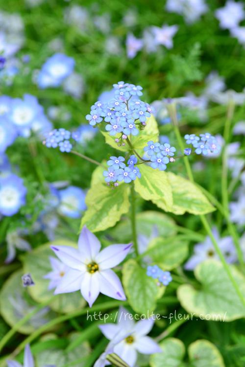 ブルンネラは、ムラサキ科で4月~5月に開花の多年草です。  今回ご紹介する4種の中で、花自体は忘れな草と一番似ていますが、ブルンネラの葉っぱは忘れな草の葉っぱとはまったく違う形をしています。  草丈は品種にもよりますが、30~40cm。植える場所は、半日陰が好みなので、シェードガーデンにおすすめです。高温多湿に弱いので、蒸らさないように注意します。  ブルンネラの品種はいくつかあって、水色の他、白い花の品種もあります。ブルンネラは、葉っぱも品種によって色々あるので、好みの葉の色で決めるのよいかもしれません。  私が育てているのは、黄色い斑入りタイプで、あんず(落葉樹)の木の下の花壇に植えています。ブルンネラが一番苦手な東京の夏、あんずの葉で日陰になるのが良いようで無事多年草化しました。  ただ、斑入り植物によくあることですが、強すぎる日差しだと葉焼けを起こしてしまいます。夏場、ボロボロになりつつも耐えてくれて、春に開花した瞬間は、嬉しさひとしおです。この植物は、東京のような場所では、高温多湿の梅雨から夏をいかに乗り切るかがポイントです。  ブルンネラの開花時期は、ハナニラ(球根)やネモフィラと同じ時期で、色のトーンの違う水色が混ざり合った時のカラーハーモニーはとても素敵です。