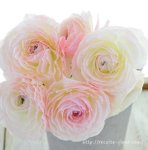 ピンクの品種ですが、開いてくると白の分量が多くなってくるラナンキュラス・コルテ。