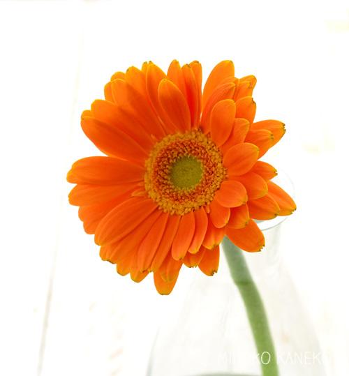 ガーベラは、水あげ後は少なめの水に生けた方がよい花です。