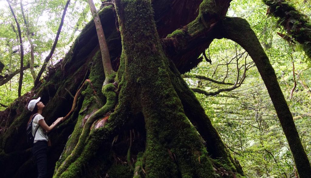 帰国後すぐに、屋久島へ行きました。  初めての屋久島、アメリカの巨樹と違い、日本の巨樹はどこか神々しいというか神秘的なパワーを感じますね。素晴らしい場所でした。屋久島は一度行くと何度でも行きたくなる。そう聞いてましたが、本当何度でも行きたくなる場所でした。