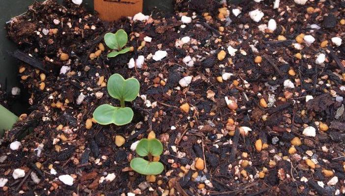 発芽していない部分に再度ラディッシュの種をまき、発芽を待ちましょう。