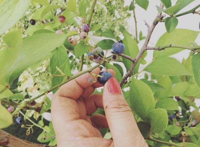 ツツジ科の落葉低木のブルーベリー。スイーツやデザートにも使われる人気のフルーツのひとつですよね。ブルーベリーの開花は5~6月で白いツツジ科らしいお花が咲きます。最近はお花屋さんでブルーベリーの実つきの枝ものも出回っているのを見かけることも。