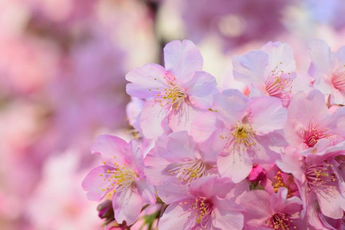 現代、俳句では花と言えば桜のことを指しますが、その流れは平安時代からのものです。奈良時代では中国から伝わった文化が色濃かったため、和歌の中で花と言えば桜ではなく梅のことを指しました。江戸時代には河川の整備のために桜が植えられるようになりました。儚く散ることを「もののあはれ」と例えるようになったのはこの頃からですが、江戸時代の武士たちは「散る」というイメージは家が続かないなどのことを連想させるため、家紋などには使われることは少なかったようです。「桜のように散り際は潔くあるべき」というニュアンスで使われることが多くなったのは大正以降で、桜を象徴とした軍歌などもたくさん作られました。