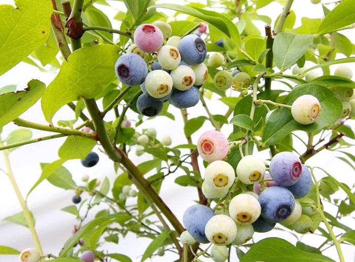 ブルーベリーの苗を見かけるたびに気になっている皆さま。これを見て植えたくなってくれれば幸いです。どの品種を買おうかな〜と悩むのもまた楽しいもの。ポカポカ陽気の休日に、まずはブルーベリーの苗を探しに行ってみてはいかがでしょうか?  ▼LOVEGREENのオフィスでも実際にブルーベリーを育てて収穫した記事はこちら
