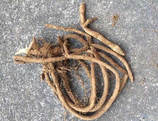 中の地下茎の様子は、下の画像のように、細くて柔らかいゴボウのような姿をしています。  本当にこんな地下茎から、あのみょうがを育てることができるのか不安になりますが、とりあえずプランターに植え付けてみました。