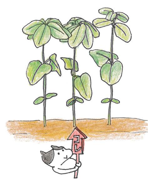 ・2回目  本葉3~4枚の頃30~50cm間隔が目安ですが、植物の種類ごとに異なります。それぞれの作物に合った株間をとりましょう。