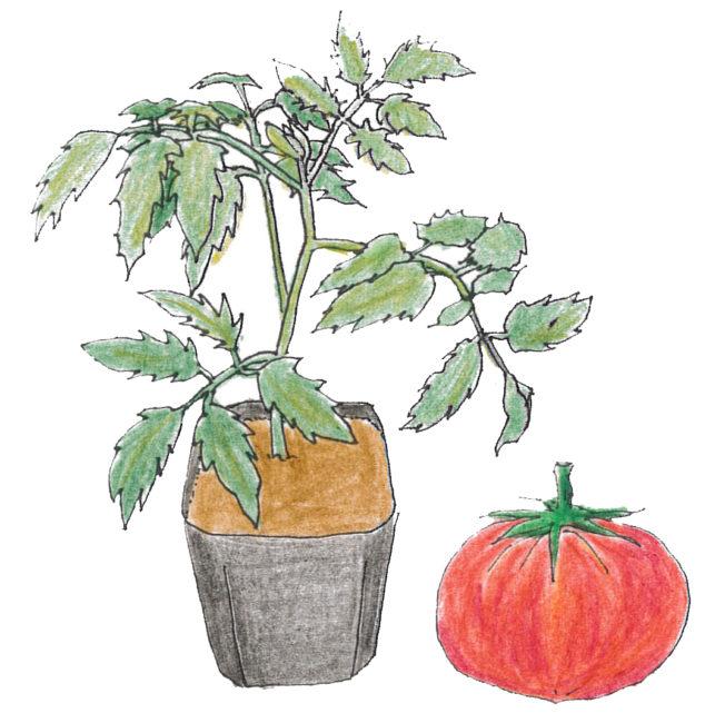 花が咲き始めたころの苗を用意しましょう。節のしまった徒長していない、葉が大きく、濃い緑色のしっかりとした苗がよい苗です。病害虫に侵されていない、健康で元気な苗を選びましょう。