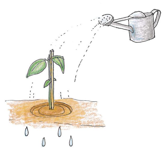 3. 苗を支えるために割りばし等の支柱を苗の少し離した場所に刺す。  植えたばかりの苗は土に活着するまでに少し時間がかかります。その際根が乾燥してしまわないためにも、植え付けから1週間位はしっかりと水を与えます。苗の周りを少し凹まして、苗にしっかり水が浸透するように植え付けてあげると乾燥しずらいでしょう。  割り箸などの支柱をすることで、小さな苗が風で折れるのを防ぐことができます。苗と支柱を麻ひもなどでゆるめに結びましょう。