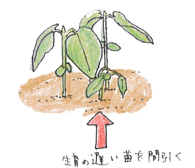 ・1回目  何粒かまいた種が生長し、本葉1~2枚の頃生育の遅いものを1~2本間引き、2~3本立ちにします。