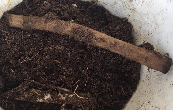 ふきのとうの地下茎は横向きに置きに植えましょう。