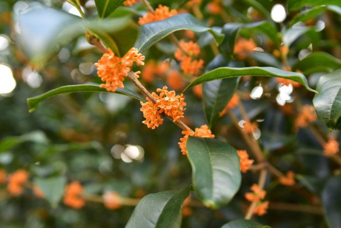 常緑で生命力がある金木犀です。秋にはオレンジの小さな花を咲かせ、非常に良い匂いを漂わせます。金木犀は沈丁花とクチナシと一緒に三大香木の一つに数えられています。  花はとってもいい香りですが、散りやすいので香りを楽しむ期間を逃さないようにしましょう。  金木犀は日本の環境に適応しているため西日にも強く、育てやすいため初心者の方にもおすすめです。