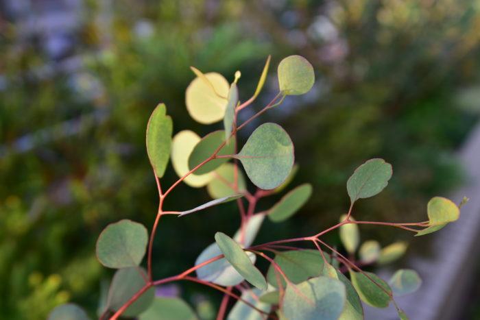 ユーカリはオーストラリアが原産の植物で、観賞だけでなくハーブとしても利用されます。  ユーカリは品種が様々あり、日本でよく流通しているユーカリは葉が丸いタイプのものです。ユーカリの葉には2タイプあり、銀色に輝いて見える銀葉タイプと緑色の緑葉タイプがあります。  緑葉に比べて銀葉の方が日光に対する耐性が強いです。