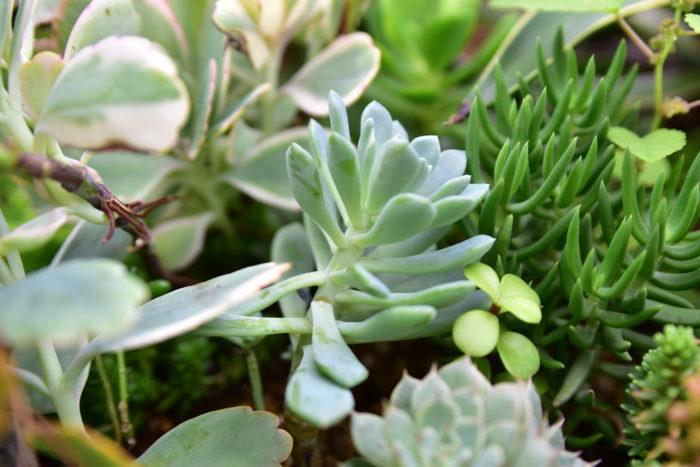 「徒長」は、茎が細く葉の間隔が長く間伸びした状態を言います。  1番多い徒長の原因は日照不足ですが、水や肥料の与え過ぎ、風通しの悪さ、用土の水はけの悪さも原因になります。徒長はどの植物でも起こる可能性のあるものですが、特に多肉食植物は見た目にダイレクトに現れるのでわかりやすいと思います。