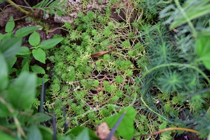 徒長は見た目がヒョロヒョロと締まりがなく、だらしなくなります。また、徒長してしまうと正常に育っている植物と比べると病気や害虫に対する抵抗力が弱まってしまいます。