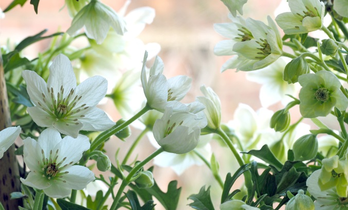 白かグリーン系の色合いの爽やかな色の花を咲かせます。  フォステリー系のクレマチスの主な品種は  ・アバランチェ  ・カートマニージョー  ・アーリーセンセーション  ・グリーンの花色のピクシー  です。  雄株、雌株とあり(雌雄異株)、品種によってはどちらかの性別の株しか無いという珍しいタイプのクレマチスです。  花粉がついてたら雄株、雌しべのみの株は雌株です。  葉っぱも特徴的で、パセリのような切れ込みの多い葉っぱです。  ツルはあまり伸びないので扱いやすく、狭い所にぴったりです。ハンギング鉢で垂れ下げるのもオススメ。  水やりは多湿にならないよう、表土がしっかり乾いたらたっぷりあげるといった方法が理想なので、屋外で育てられる多肉植物と一緒に植えることもできますよ。ですが乾燥しすぎには注意です。