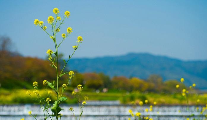 花がセイヨウアブラナより少し小さく、花びらが2つくっついたような咲き方をしています。  咲き方も固まって咲くというよりは棒状に咲きます。葉っぱの形はギザギザしてきりこみが細かい葉っぱをしています。葉っぱの付け根も茎を包む生え方はしておらず、普通の植物と同じ付け根になっています。  味はセイヨウカラシナの方がかじると辛みを感じます。どちらも元は食用でしたので食べられなくはないそうですが、あまりおすすめできませんね。