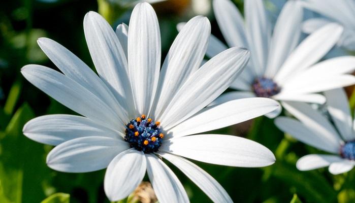 オステオスペルマムは育てやすく初心者向きの植物ですが、より長く楽しめるコツがあります。  こまめに花がらを摘む 種を取りたい方もいるかもしれませんが、つけない品種が多いので咲き終えた花がらはこまめに摘みましょう。  次々と開花するので株は体力を消耗します。無駄に株を疲れさせないためにも行いましょう。  夏の切り戻し オステオスペルマムは高温多湿に弱いので、株が蒸れるのを防ぐためにも切り戻しをして風通し良くするといいでしょう。ばっさりと株の1/3ほどの長さに切り戻します。  日当たりのいいところで管理 オステオスペルマムはお日様大好きなので、日当たり良好な場所で育ててください。梅雨時期は雨を防げる軒下などで管理するといいですよ。  肥料をあげる 開花期は次々花が咲くので、その分体力も使います。液体肥料など与え栄養補給してあげるとよりたくさん咲いてくれます。10日に1回程度が良いでしょう。
