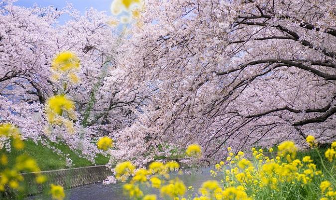 一口に菜の花と言っても、一種類ではなくアブラナ科の植物の花を 菜の花 と呼びます。  その菜の花ですが、スーパーに並んでいる菜の花と、河川敷に生えている菜の花は違う種類なのをご存知でしょうか?  どちらも同じアブラナ科ですが、スーパーなどで販売されているも菜の花は食用に品種改良されたものであり、河川敷に咲く菜の花は、セイヨウカラシナかセイヨウアブラナという種類になります。  さて、なぜあんなに河川敷などに広がったのでしょう。  それは、昔、大量の菜種油や食用とするために沢山植えられたものが帰化したり、他のアブラナ科の植物と交雑して現在も生き残っているのだそうです。色々なアブラナ科の植物と交雑している可能性は高いですが、大きく2種類に分けることが出来ます。