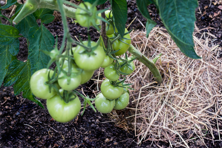 マルチングとは、植物を植えた表面の土をビニールや小石、バークチップ、ワラなどで覆うことです。畑で作物の根元部分をビニールシートやワラ、腐葉土などで覆っているのを見たことある方も多いのではないかと思います。主に屋外で雑草防止や地面の乾燥を防ぐ役割で使われる事が多いです。