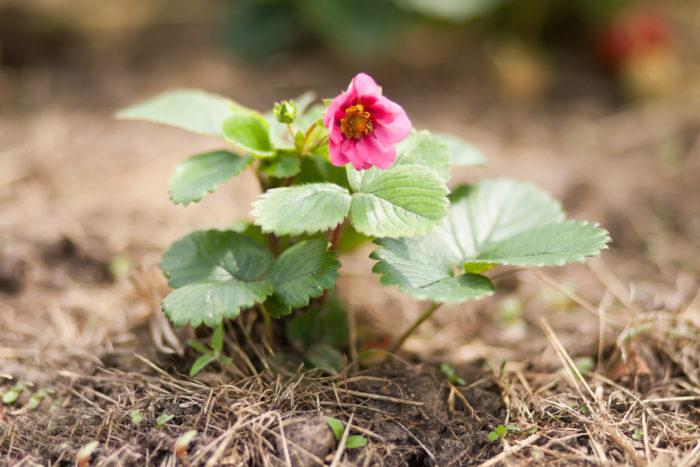 通常白い花が咲きますがピンクの花が咲くイチゴがあるのをご存知でしょうか?濃いピンクや薄いピンクの数種類の品種が出ています。開花期が3月~11月と長く、実も四季成りなのでその都度実ります。実は割と大ぶりで食べることもできますよ。