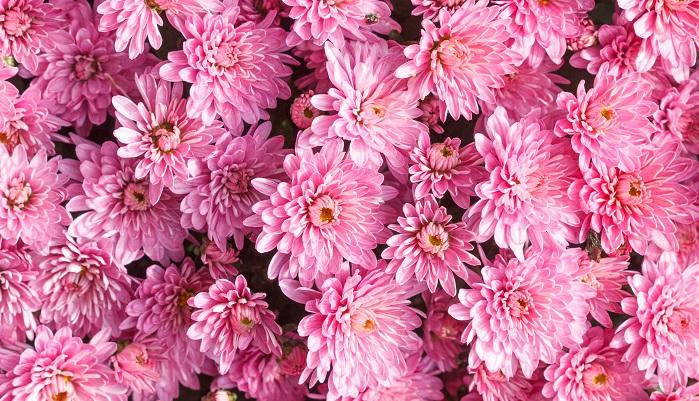 母の日は5月の第二日曜日で日本やアメリカと同じですが、季節が逆のオーストラリアではそのころ秋を迎えるため、そのころ時期を迎えるクリサンセマム(キク科の花)を贈る習わしがあります。日本では現在仏花として定着している菊ですが、オーストラリアでは日常的にブーケには菊が入っていたり、種類も多く日本とはイメージが異なるようです。クリサンセマムは英語表記だとchrysanthemumになるので、その語尾を取ってMUMとなることも理由の一つです。また朝ご飯に特別なメニューをあつらえたり、外食したりという文化もあるんですって。