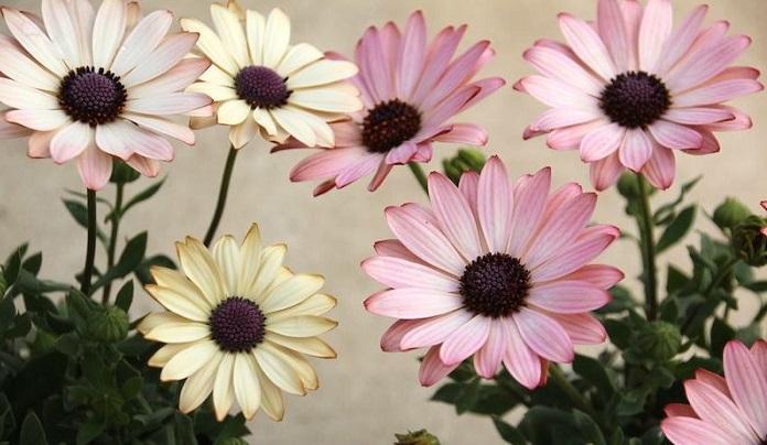 ピンクからクリーム色に色が変化する種類もあります。色幅も大きく、春のお庭を盛り上げてくれる存在です。また八重咲や花びらがスプーン状の品種もあります。  花も沢山咲かせてくれるのでおススメです。斑入り品種もあるので葉っぱと花を両方楽しめます。