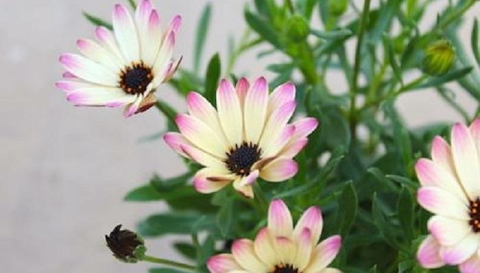 科名キク科 別名アフリカンデージー 属名Osteospermum 原産地南アフリカ 開花期3~6月、9~11月 形態多年草 耐暑性高温多湿に弱い 耐寒性霜や雪にあてなければ-5℃まで耐えます 背丈20~50cm位 花色や花びらの形、斑入りなど色姿の種類が豊富で飽きのこない植物です。多年草なので夏越しと冬越しをすれば毎年楽しめます。