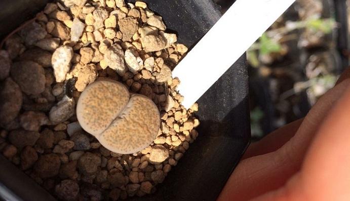 植物なのに脱皮する、生きた宝石と呼ばれるリトープスです。
