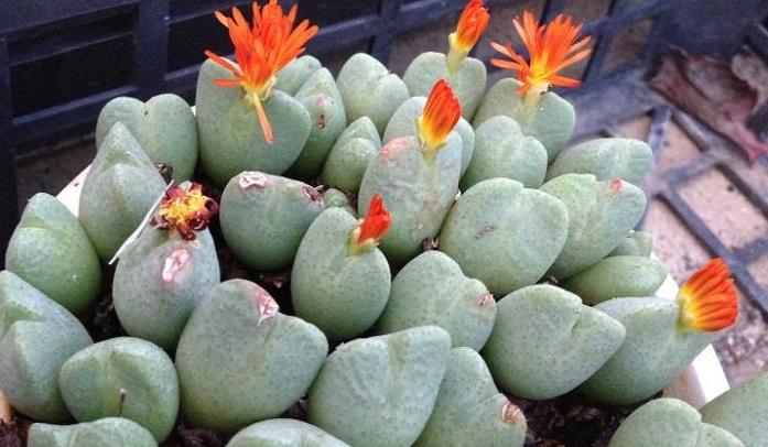 可愛らしいボディに美しい花を咲かせるコノフィツムです。