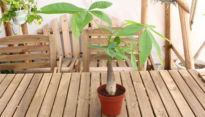money treeとも呼ばれるパキラはお部屋にあるだけで金運UPの予感がしますね…。  パキラは根張りが弱いため植え替えを頻繁に行う必要がなく、強健なため非常に育てやすい定番の観葉植物となっています。  パキラの花言葉は「快活」「勝利」。剪定しても頻繁に新芽を出すほどの強い生命力を持っていることが「快活」の由来になるそう。
