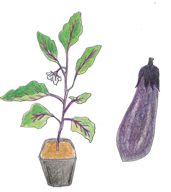 茎が太く、葉が厚くて、色の濃いものを選びましょう。ちょうど一番果が咲き始めるくらいが植え付けに最適です。ナスは連作障害をうけやすいので、接ぎ木苗がお勧めです。