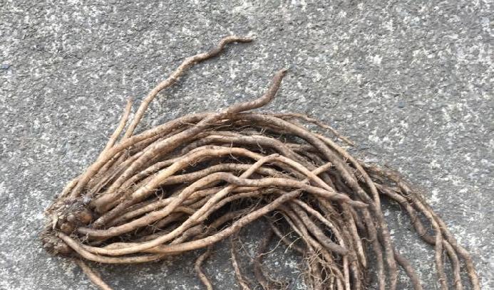購入したアスパラガスです。こんなゴボウの細いような根からたくさんアスパラガスが出てくるのですね。  アスパラガスは、酸性の土壌を嫌います。ph6.0~6.5位に調整しましょう。  通常は1年目で種をまき、1~2年は収穫せずに株を育てて、3年目に出た芽から収穫することが出来るようになります。  今回購入したアスパラガスですと、来年から収穫できるようになります。そこから10年ほど連続で収穫することが可能で、地植えならほったらかしでも春になると収穫できる素敵なお野菜というわけです。  今回はプランター栽培ですので、しっかりお手入れしながら育てたいと思います。