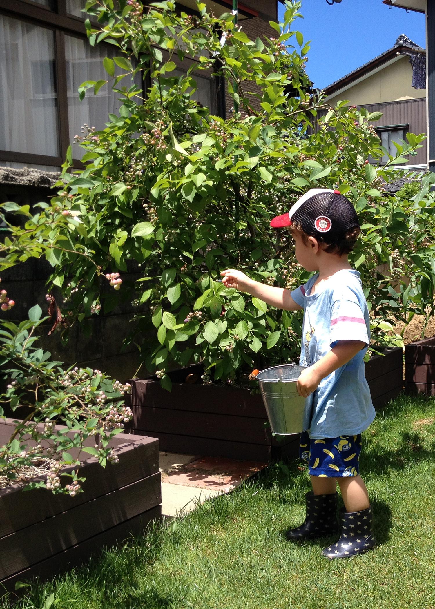 子どももつまみ食いしながら収穫してくれています♪ 植えて良かった! と思う瞬間です。