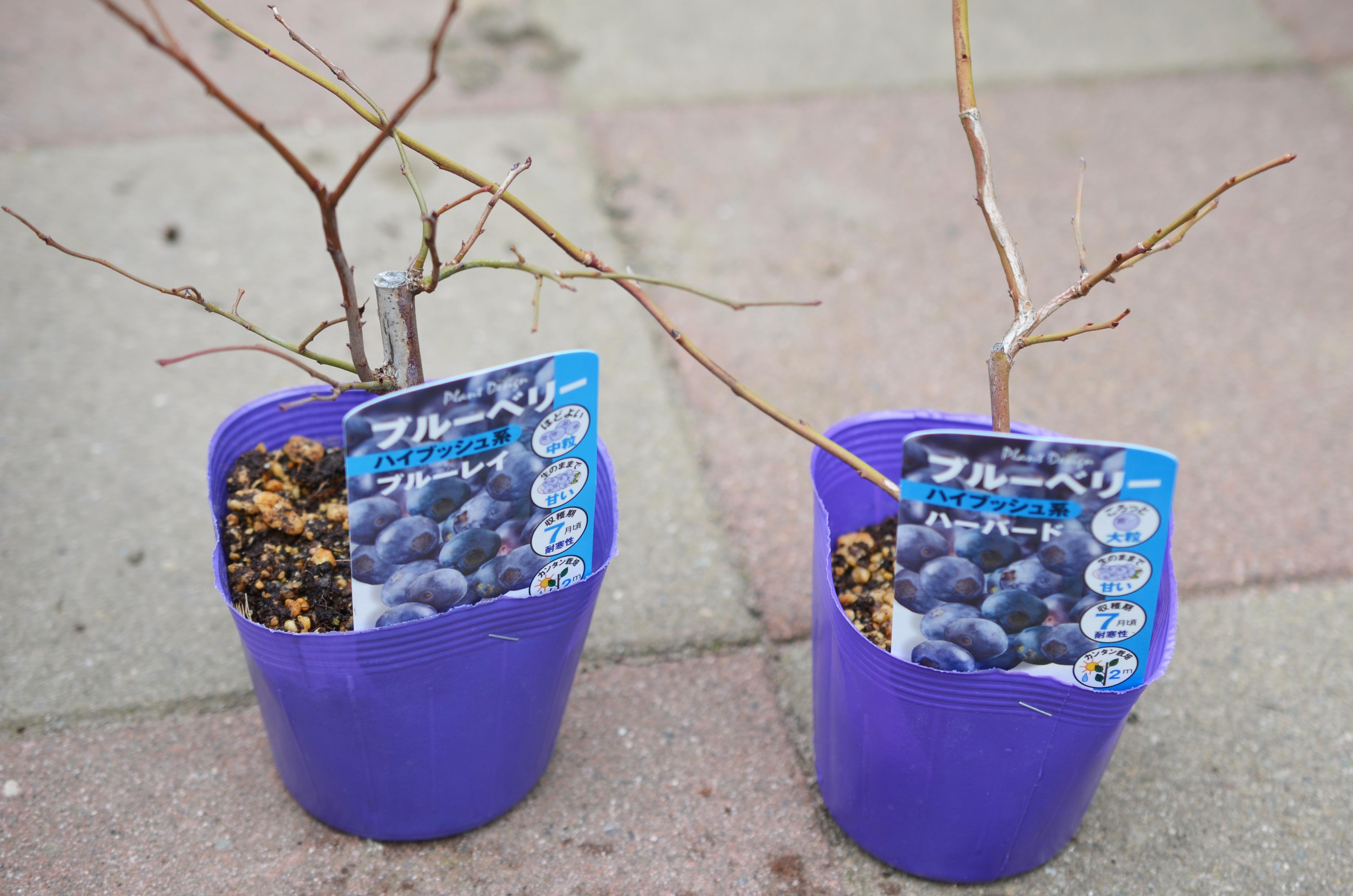 ブルーベリーの苗 ブルーベリーが受粉して実をつけるには同じ系統の中から二品種以上を選んで植え付けることがお約束なので、「ノーザンハイブッシュ系」の「ブルーレイ」と「ハーバード」という品種を選択。  準備するもの ・鉢 ・ピートモス ・鹿沼土 ・ブルーベリー用肥料  割と土壌への適応力が高い「ラビットアイ系」に比べ、「ノーザンハイブッシュ系」は土を選ぶようです。ここはしっかり基本通りに土を作ってあげて鉢植えで管理したいところです。