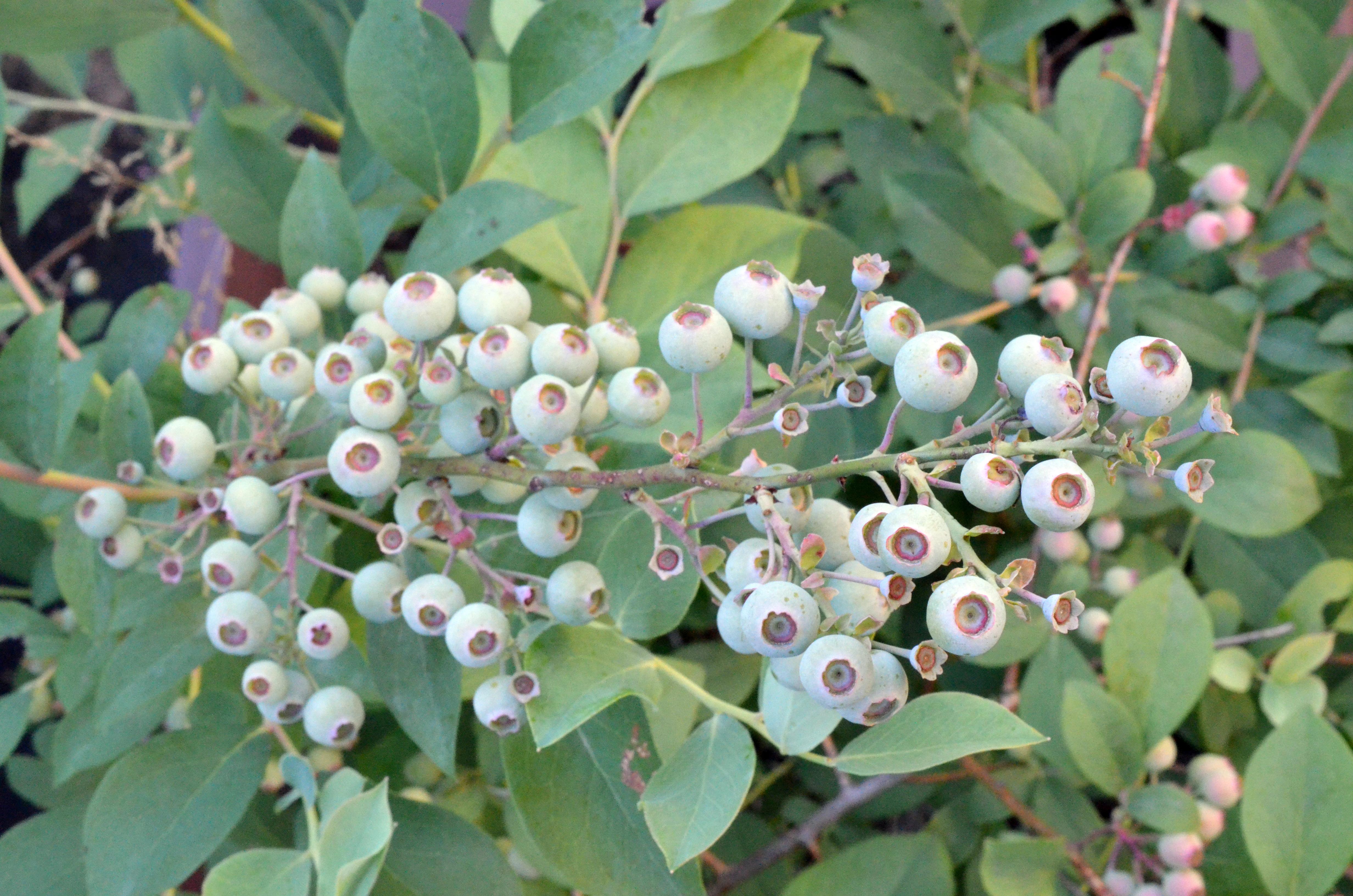 ブルーベリーが実をつけるには 非常にたくさんの種類や品種があるブルーベリー。同じ系統の中から二品種以上を選んで植えた方がよく実がなると言われています。  おすすめは「ラビットアイ系」 「ラビットアイ系」は暖地型とも言われますが、生育旺盛でここ金沢の雪にも負けず育っています。植えつけてしまえば後は肥料をやるくらいという私得意の放置農法です。剪定もしない…のでちょっと申し訳ない気持ちになりますが、それでも夏にはたくさんの実をつけてくれています。もしこんな風に後々地植えされるのであれば、「ラビットアイ系」はとっても丈夫なのでオススメですよ♪