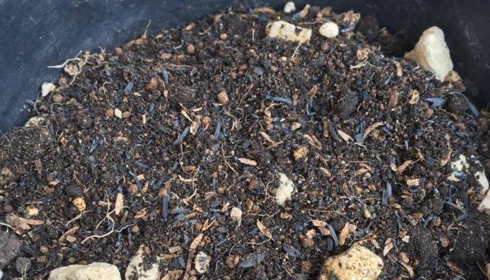 苗は芽が3cm隠れるほどの深植えにし、植え付け後は十分に水やりを行います。根が広がるように植え付け、よく根と土が活着するようにおさえておきましょう。