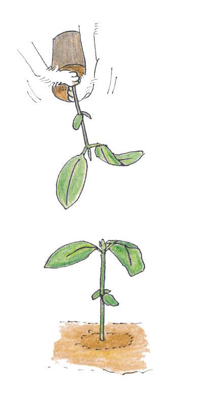 2. 苗を軽く手で押さえ根鉢を崩さないように植える。