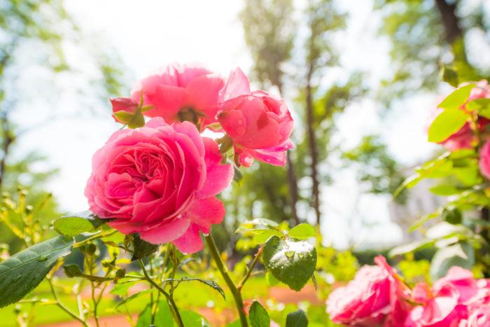 ロサ・センティフォリア この系統のバラは古くから香料にされてきました。花弁が多く、キャベッジ・ローズとも呼ばれます。センティフォリアはケンティフォリアとも呼ばれ、「たくさんの花びら(または葉)を持つ」とされます。  ダマスクローズ 呼ばれるトルコ原産とされるバラ。ダマスクローズの名称でエッセンシャルオイルなども発売されているのでご存知の方も多いですよね。