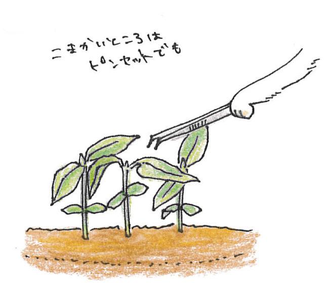 ・1回目  本葉1~2枚の頃、葉が触れない程度で間引いてください。間引いた葉は、幼葉すなわちベビーリーフです。サラダなどで召し上がってください。その際、種が薬剤加工してあるものは気になるようでしたら、双葉を取り除き、本葉から召し上がってください。
