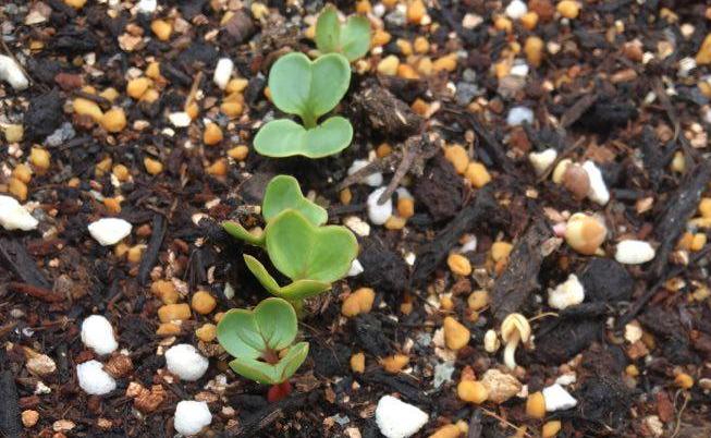 発芽率は種をまく数の参考になります。 発芽率が70%なら点まきで1か所に4粒まくと2~3個は芽がでる。  発芽率が85%なら点まきで1か所に3粒まくと2~3個は芽がでる。  このような計算ができるので、発芽率に応じた無駄のない種まきが可能になります。